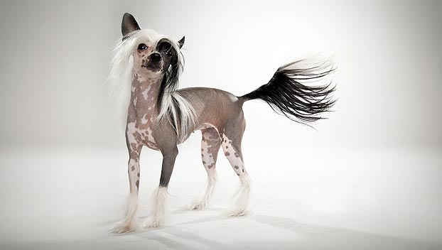 chinese-crested-animalplanet-com