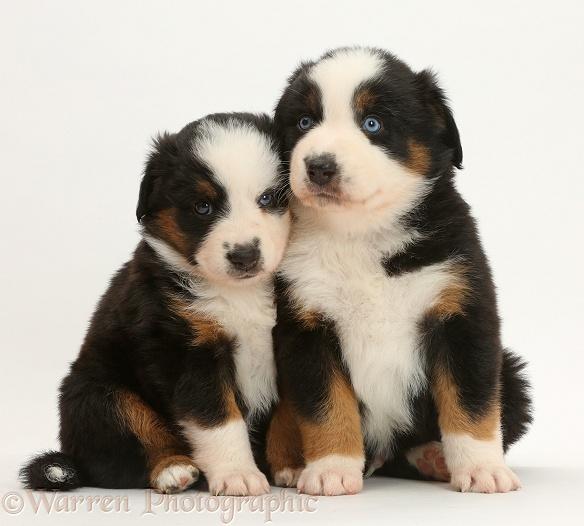Mini American Shepherd puppies