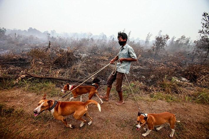 Endonezya'nın Riau bölgesindeki Kampar'da Eylül ayında yaşanan bir orman yangınından sonra köpeklerini dolaştıran adam. Yeni bir araştırma, köpeklerin Güneydoğu Asya'da evcilleştirildiğini öne sürüyor.