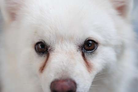 Köpeğin sulu gözleri var. Köpek göz bakımı