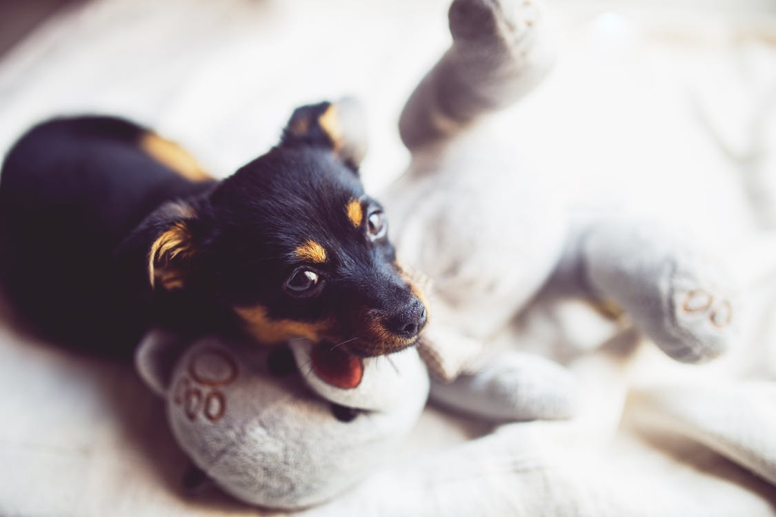 Yavru Köpeklerin Eve Alışma Süreci